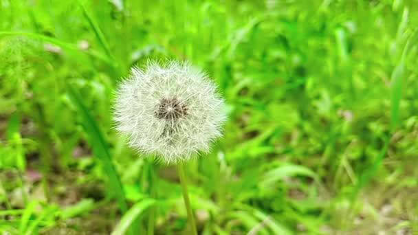 leise weiße Blume Löwenzahn auf dem grünen Rasen-Hintergrund, Konzept der Frühling steht vor der Tür, Slow-Motion-Bewegung