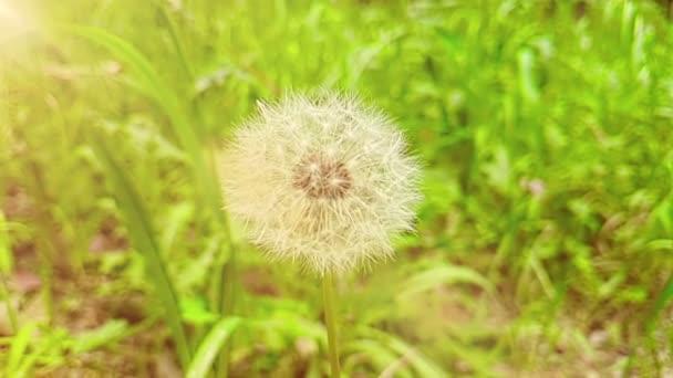 leise weiße Blume Löwenzahn auf dem grünen Rasen Hintergrund mit warmen Sonnenlicht, Konzept der Frühling steht vor der Tür, Slow-motion
