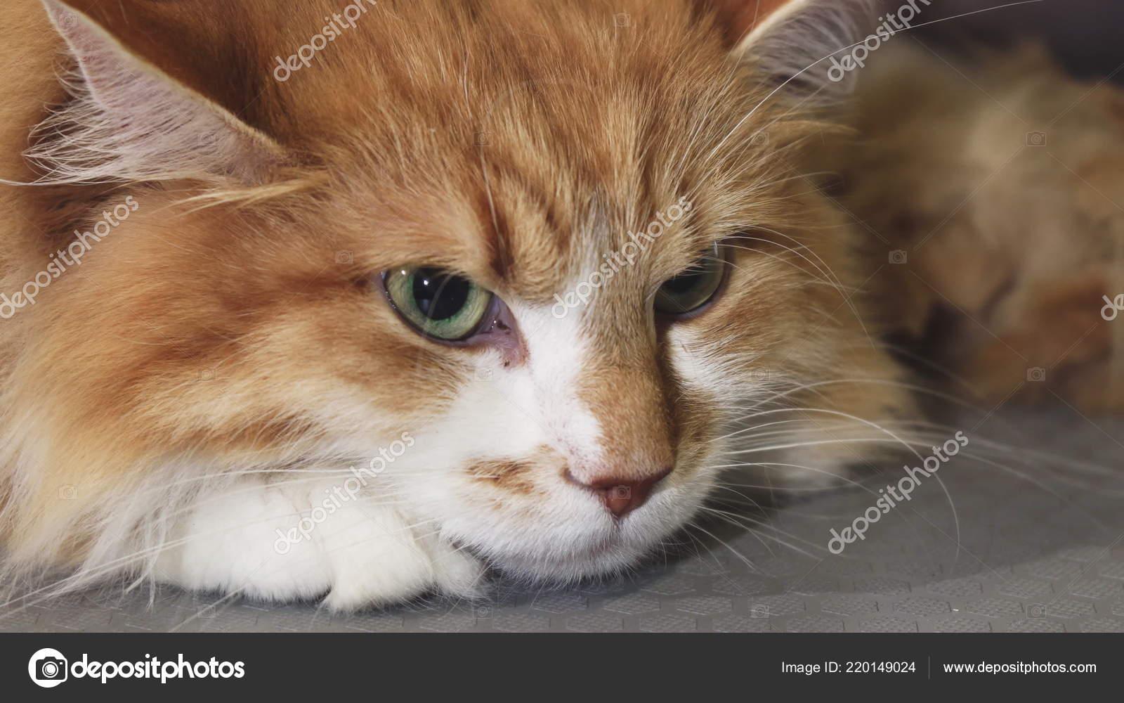 Oholil kočička detailní