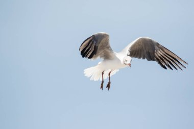 Close up images of Grey-headed gulls flying overhead looking for food scraps