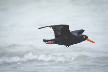 Close up image of a black oyster catcher feeding on the rocks in the tidal region in the western cape of south africa