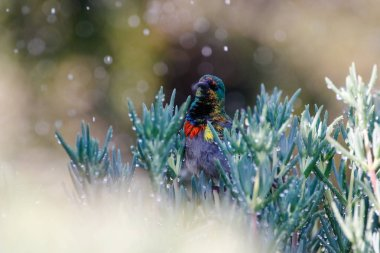 Close up image of a double collared Sunbird bathing in water drops from a sprinkler