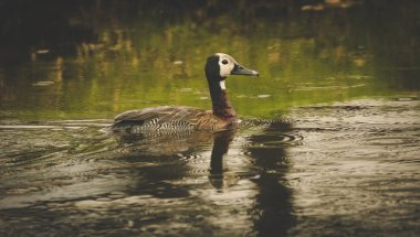 Close up image of a White-faced duck swimming across the lake