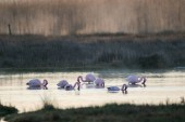 Close up image of greater flamingos feeding in the berg river estuary on the west coast of south africa