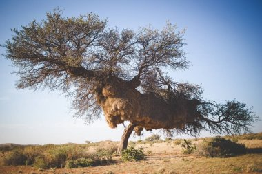 Wide angle view of a massive weaver nest in an old camel thorn tree in the kalahari region of South Africa