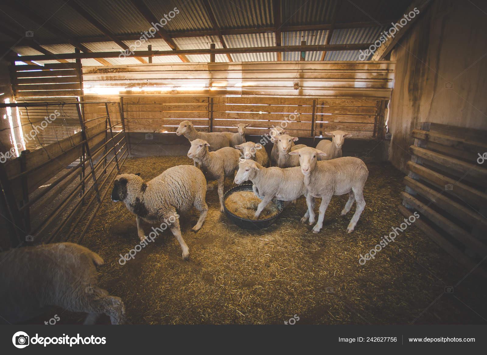 Close Image Merino Sheep Shed Karoo Region South Africa Getting Stock Photo C Dewald Dewaldkirsten 242627756