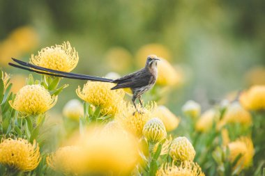 Close up image of a Cape Sugarbird in a field of bright yellow pincushion proteas.