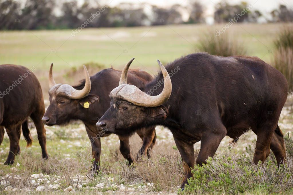 Close up image of Cape Buffaloes in a nature reserve in South Africa