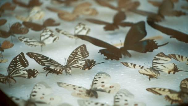 Entomological collection, butterflies under glass