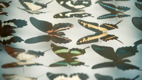 Entomologische Sammlung, Schmetterlinge unter Glas