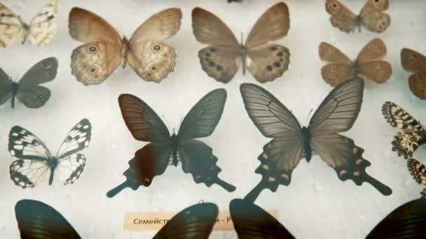 Rovartani gyűjtemény, pillangók, üveg alatt