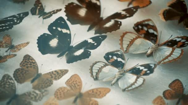 Entomologické sbírky, motýli pod sklem