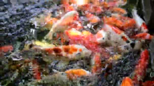 Barevné ozdobný kapr ryby, koi Ryby
