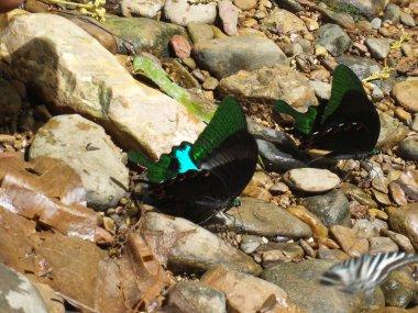butterfly Pangsida