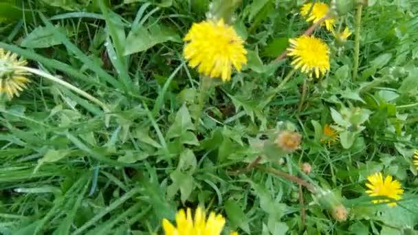 pampelišky květiny v trávě