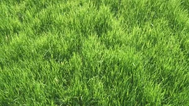 Lawn grass in the back sun
