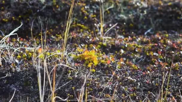 Otevřené pláni pokryta malými trávy, mechu, lišejníků. Video. Rocky kameny na trávě v kopci. Krásné pole s kameny a kameny v horách. Mech a nativní trav, s kopce