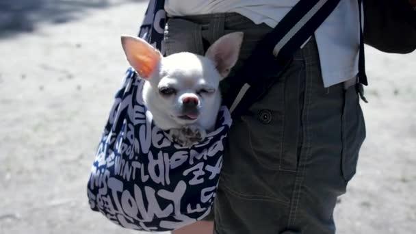 Krásný pejsek v tmavě modré tašce cestovatel, slunečný den. Klip. Malý bílý pes v cestovní tašce. Pojetí cestování s Pets