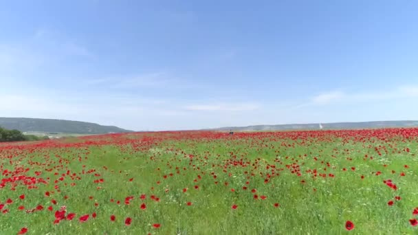 red flowers in wheat filed on sunny spring day. Shot. Top view of the poppy field on a Sunny day. Blooming poppies on field