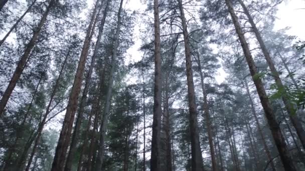 Trees in morning fog. A dark forest lane with trees early in the morning. Foggy forest with brown bear hidden in the grass. Fogy dead forest