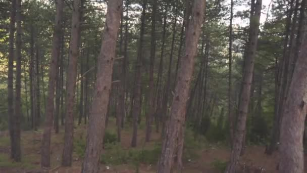 Dense pine forest in summer. Stock. Inside of dark pine forest in windy weather. Brown thin pine trunks with curved branches . Beautiful wild nature of forest