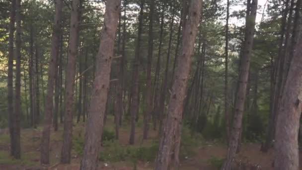 Sűrű fenyőerdő nyáron. Stock. Sötét fenyves erdő a szeles időjárás belsejében. Barna vékony fenyő fatörzsek ívelt ágak. Gyönyörű vad természet, erdő