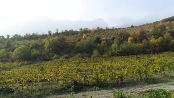 Mladých hroznů vinice řádky. Hrozny vína starých vinic s červenou. Krásné malebné vinice při východu slunce