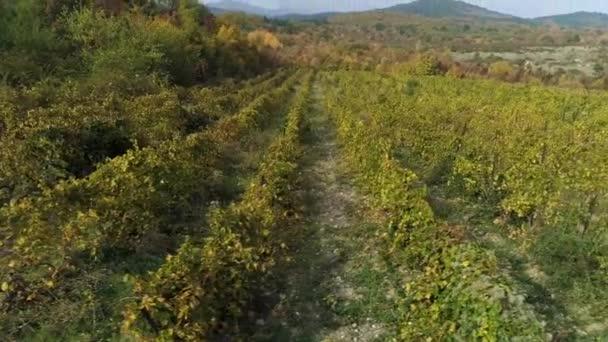Mladých hroznů vinice řádky. Hrozny vína starých vinic s červenou. Střela. Krásné malebné vinice při východu slunce