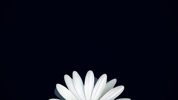 Krásné, rotující, abstraktní heřmánkový květ přesunutí zdola nahoru, izolované na černém pozadí. Rotující Bílá sedmikráska poupě, pohled shora