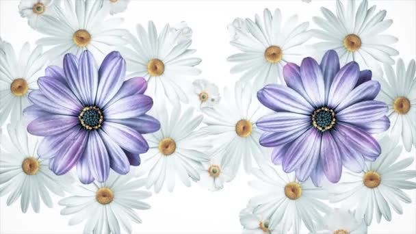 Set of white and purple different summer flower buds rotating, isolated on white background. Chamomiles, cosmos flowers and violets spinning.