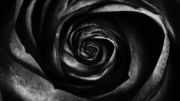 Abstract of black soft rose petals, rotating flower, seamless loop. Top view of rosebud spinning hypnotically.