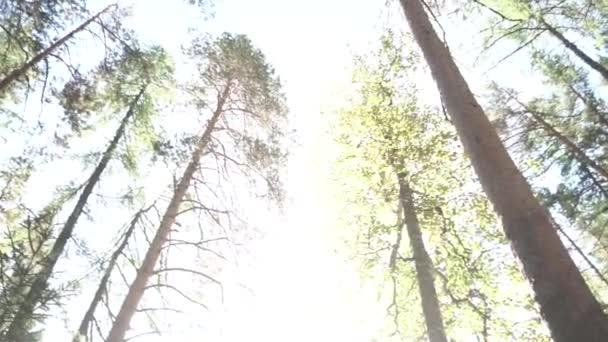 Buttom pohled na kmeny a koruny stromů v lese na jaře proti modré obloze se sluncem. Záběry. Zelené stromy nahoře v lese a sluneční paprsky zářící skrze listy, pohled zespodu.