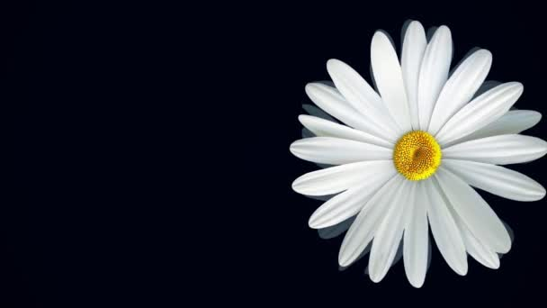 Chamomile on black background. Animation of abstract floating white daisy and purple flower on isolated black background. Floral animation of clear and realistic graphics