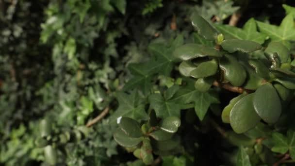 A ficus felülnézet levelek, magas Fikusz fa a sötétben. Zár-megjelöl-a sötétzöld levelei életlenítés háttér