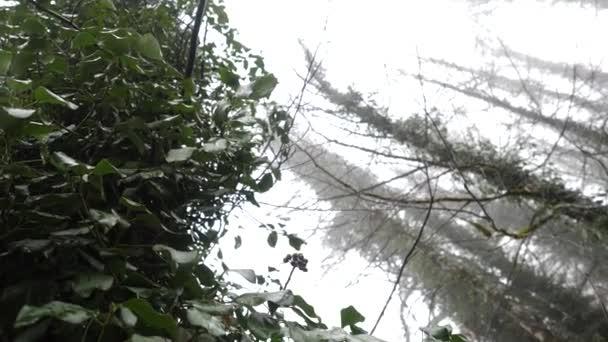 Ivy a párás erdei fák. Közeli kép: borostyán, egyre nagyobb a fák fényében a fatörzsek és ágak nyújtás a pára ködös. Természetes erdei vegetáció