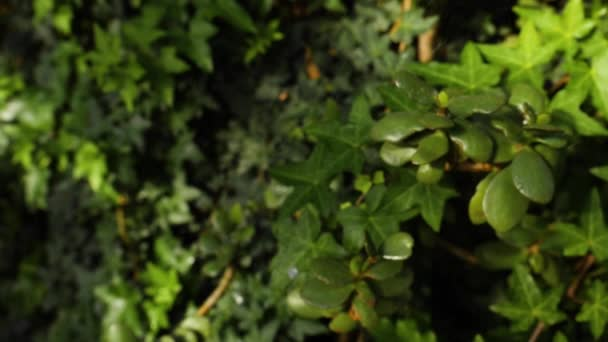 Close-up of ivy background. Beautiful natural background of lush green ivy and plants with splashed water drops in sunlight