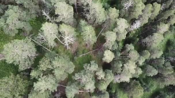 Letecký pohled na kameru se pohybuje od podél zeleného lesa husté smíšené stromů borovice a břízy. Létání nad obrovské svěže zelené borové a smrkové vrcholky stromů v horách. Letecký pohled