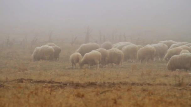 Pasoucí se stádo ovcí na suché podzimní pastvě na vrcholu kopcovité krajině. Střela. Stádo ovcí na mlhavé oblasti