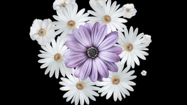 Animace kytice bílých sedmikrás se pohybuje kolem a tvoří kruh s velkou purpurovou květinou uprostřed. Černé pozadí.