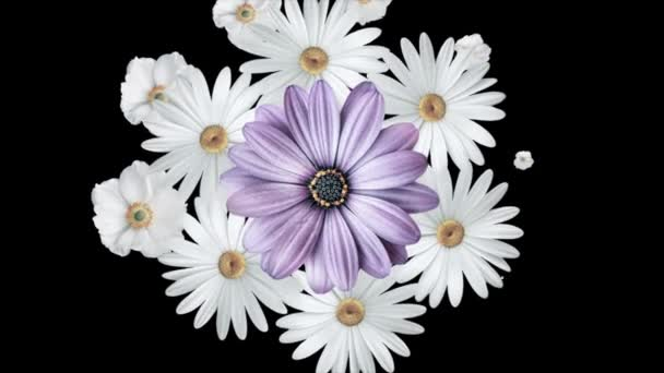 Animation of bouquet of white daisies moving around and forming a circle with a large purple flower in the center. Black background.