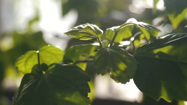 Close-up of green leaves of some plant shined by sunlight in a botanical garden. Stock footage. Plants and gardening