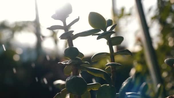 Zár-megjelöl néhány egzotikus növény-és kis húsos levelek permetezett víz a botanikus kertben. Stock footage. Növények és Kertészet