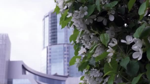 Blooming white cherry flowers on background of office building. Stock footage. Spring time of flowering and gardening of city in parks near office buildings