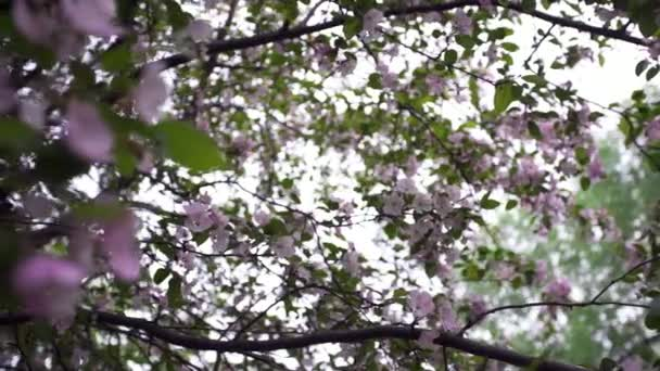 Close-up of natural blossoming tree flowers. Stock footage. Beautiful blooming pink flowers on branches of green tree