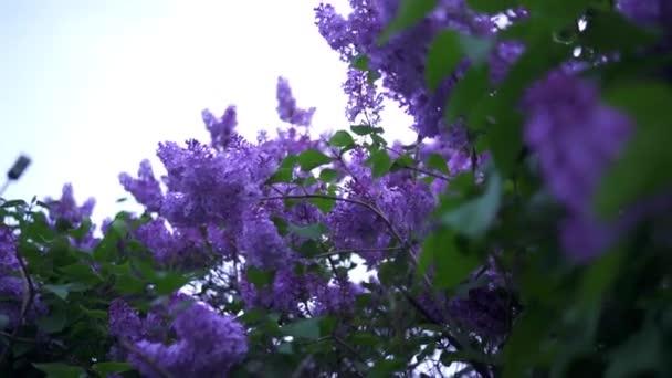 Zöldlevelekkel, lila lila virágzó rügyek. Stock Footage. Gyönyörű természetes virágok lila lila a háttérben felhős égbolt tavasszal