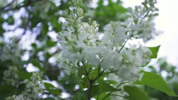 Close up for blossoming white lilac bushes white on bright sky background. Stock footage. Springtime landscape with tender flowers on tree branch.