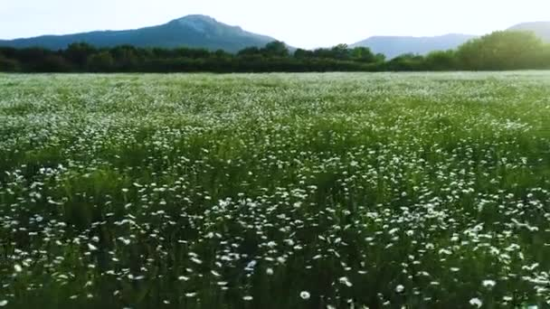 Beautiful view of idyllic mountain scenery with blooming meadows and growing pine trees. Shot. Aerial for the beautiful white camomile flowers in springtime.
