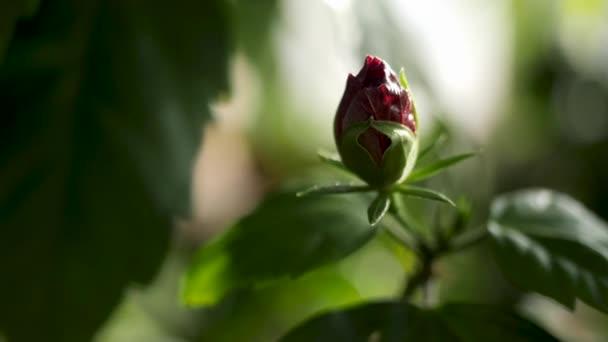 Közelről fel nem nyitott vörös rózsa Bud és zöld szirmok, a természet szépségét. Stock Footage. Gyönyörű Rózsa virág a kertben homályos háttér.