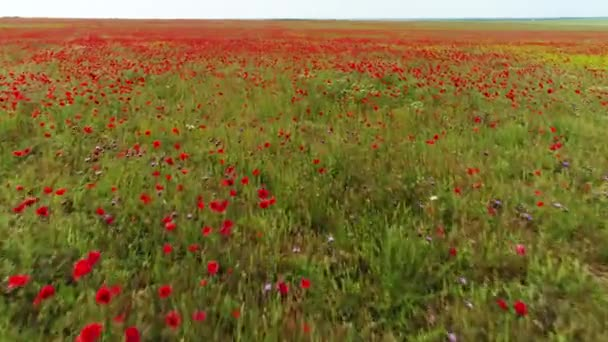 Landscape with nice cloudy blue sky over poppy field, colors of nature. Shot. Aerial for wild blooming red flowers and green grass, summer meadow.
