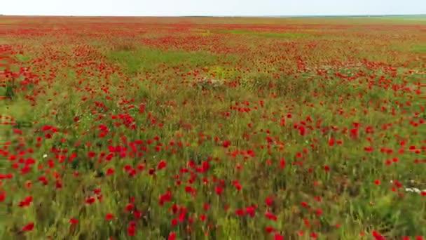 Közelkép a virágzó vad területén a piros Pipacsok, emlékezés napja szimbóluma. Lövés. Antenna a szép, fényes, piros virágok a zöld réten.